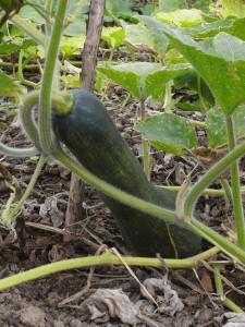 まだ小さい実のときは緑色です