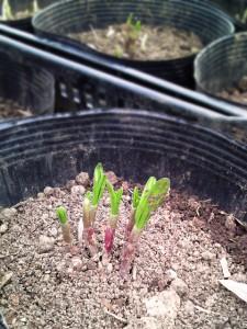 行者にんにくの若芽が出始めています。