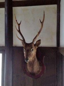 鹿の剥製。りっぱな角です。。