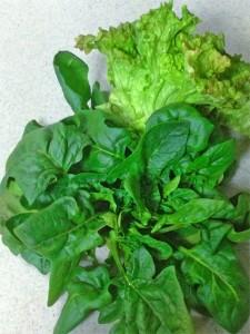 冬の肉厚なほうれん草とレタス。美味しいですよ〜