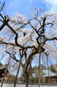 青雲寺しだれ桜 28日の様子