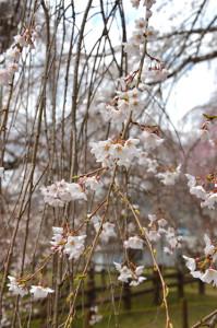 青雲寺しだれ桜