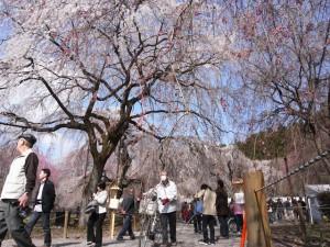 みごとなしだれ桜。昨年の様子です。
