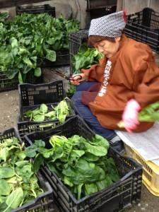 おばあちゃんがほうれん草収穫後の手入れ