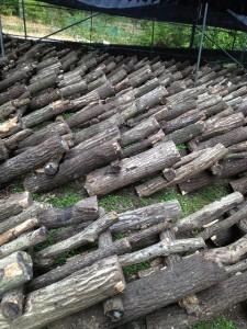 榾木(ほだ木)の環境を作っています