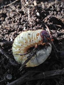 大きくなったカブトムシの幼虫
