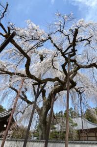 樹齢600年のしだれ桜