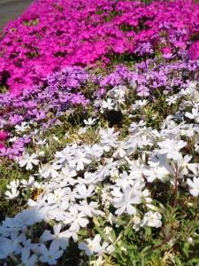至る所に咲いているシバザクラ