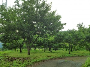 7月の栗畑の様子 まだ青々しています。