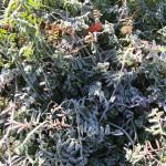 草が霜で凍っています