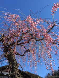 しだれ梅か桃の花