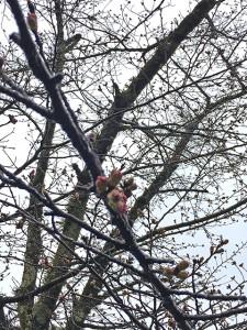 桜のつぼみが色付いてきました