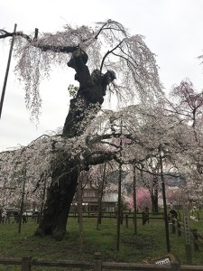 星雲寺のしだれ桜の古木