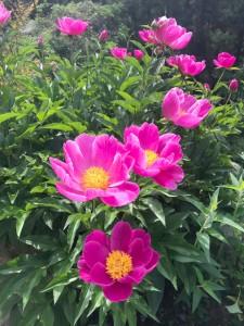 庭先に咲いたぼたんの花