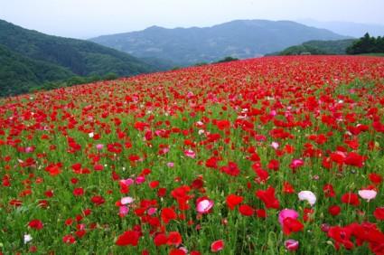 彩の国ふれあい牧場:天空のポピー