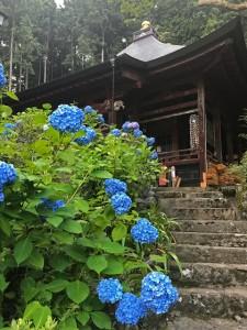 札所30番法雲寺の紫陽花