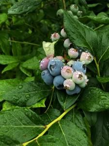 大粒のブルーベリーが実っています。