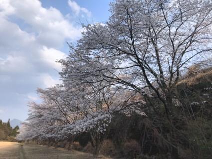 散歩途中にある桜並木もほぼ満開