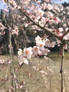 清雲寺のしだれ桜(22日頃)