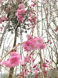 三峰口周辺のしだれ桜(29日頃)