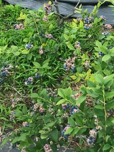 大粒のブルーベリーがたくさん実っています