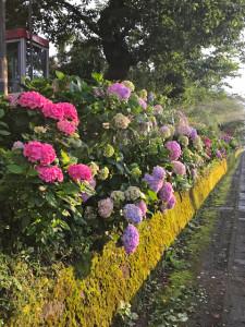 駅と国道間、歩道の紫陽花たち