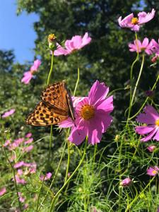 コスモスにアゲハ蝶が