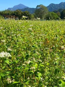 蕎麦畑越しに武甲山